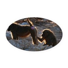 Two olive baboon (Papio anubis) gr Oval Car Magnet