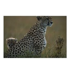Cheetah (Acinonyx jubatus Postcards (Package of 8)
