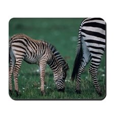 Young Burchells zebra (Equus burchelli), Mousepad