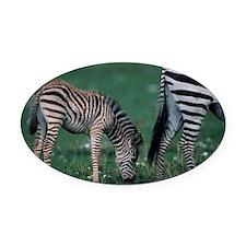 Young Burchells zebra (Equus burch Oval Car Magnet