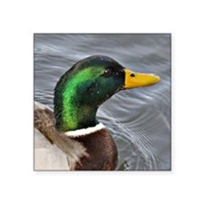 "Male Mallard Square Sticker 3"" x 3"""