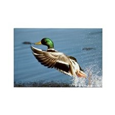 Mallard Rectangle Magnet