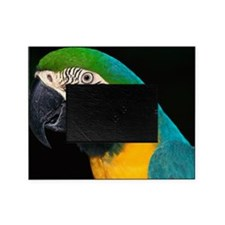 Blue and gold macaw Picture Frame