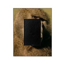 Close up of a baboon Picture Frame