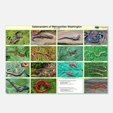 poster salamander Postcards (Package of 8)