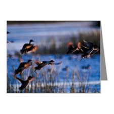 Pintail ducks Note Cards (Pk of 20)