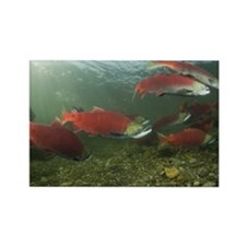 Spawning Sockeye Salmon, Adams Ri Rectangle Magnet