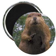 Cute Beaver Magnet