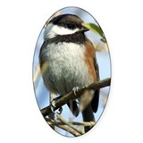Black capped chickadee Bumper Stickers
