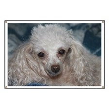 honey the tea cup poodle 2 Banner