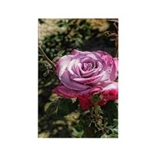 American Beauty Pink Rose Rectangle Magnet