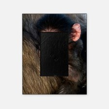 Young Chacma baboon Picture Frame
