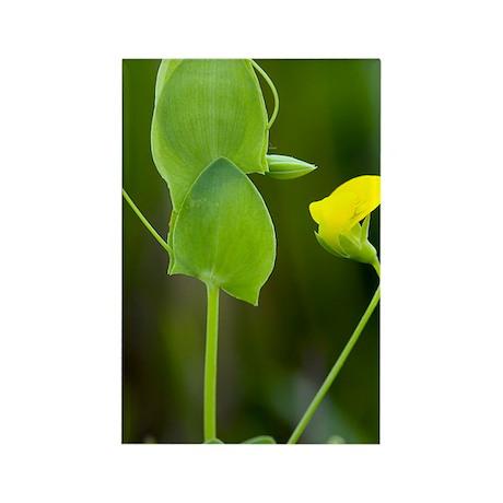 Yellow Vetchling (Lathyrus aphaca Rectangle Magnet