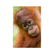 Young Sumatran orangutan Rectangle Magnet