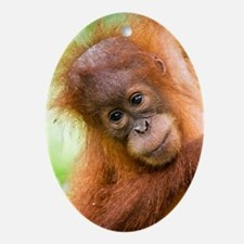 Young Sumatran orangutan Oval Ornament