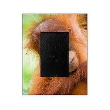 Young Sumatran orangutan Picture Frame