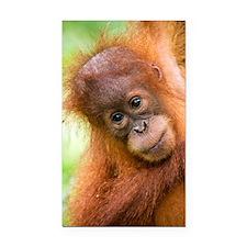 Young Sumatran orangutan Rectangle Car Magnet