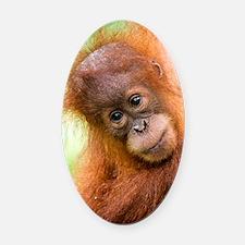 Young Sumatran orangutan Oval Car Magnet
