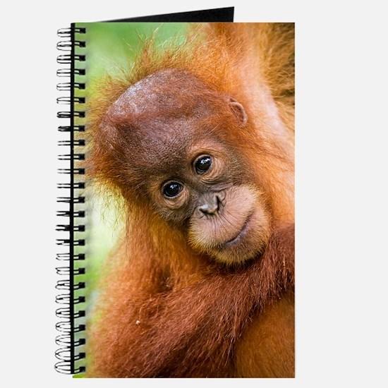 Young Sumatran orangutan Journal