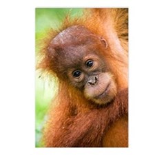 Young Sumatran orangutan Postcards (Package of 8)