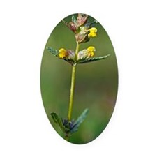 Yellow rattle (Rhinanthus minor) Oval Car Magnet