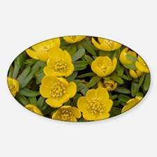 Winter Aconite (Eranthis hyemalis) Decal
