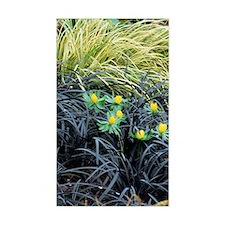 Winter aconite (Eranthis hyema Decal
