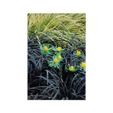 Winter aconite (Eranthis hyemalis Rectangle Magnet