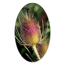 Wild teasel flower (Dipsacus fullon Decal