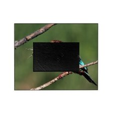 White-throated kingfisher Picture Frame