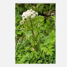 Wild angelica (Angelica s Postcards (Package of 8)