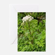 Wild angelica (Angelica sylvestris) Greeting Card