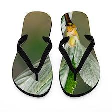 Whitebeam (Sorbus aria) Flip Flops