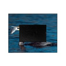 White-breasted cormorant with fish Picture Frame