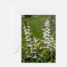 White Clary (Salvia candidissima) Greeting Card