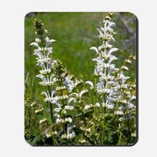 White Clary (Salvia candidissima) Mousepad