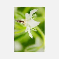 White borage (Borago officinalis) Rectangle Magnet