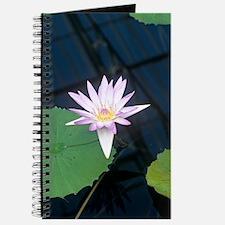 Water lily 'Blue Beauty' flower Journal