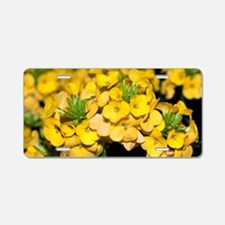 Wallflowers (Erysimum 'Dawn Aluminum License Plate