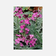 Wallflowers (Erysimum 'Bowles Mau Rectangle Magnet