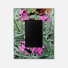 Wallflowers (Erysimum 'Bowles Mauve' Picture Frame