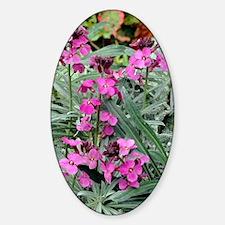 Wallflowers (Erysimum 'Bowles Mauve Sticker (Oval)