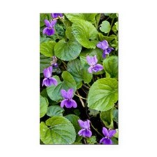 Viola odorata (Sweet Violets) Rectangle Car Magnet