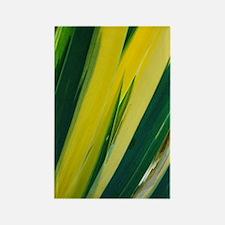 Variegated sweet iris (Iris 'Vari Rectangle Magnet