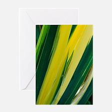 Variegated sweet iris (Iris 'Variega Greeting Card