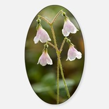 Twinflower (Linnaea borealis) Decal