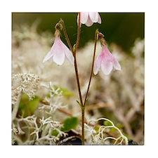 Twinflower (Linnaea borealis) Tile Coaster