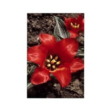 Tulip (Tulipa 'Red Riding Hood') Rectangle Magnet