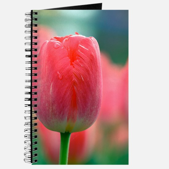 Tulip (Tulipa 'Judith Leyster') Journal