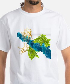 Transcription factor-DNA, molecul Shirt